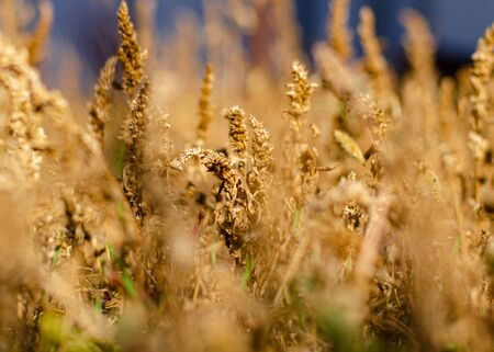 Yellow grass cereal plan. The inflorescences of yellow autumn grass with a blurred background. Autumn meadow herbs