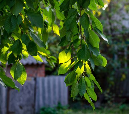 A branch of sweet cherry with green leaves in the sun in a rustic garden. Photos of village life