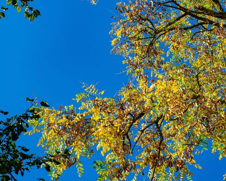 Crown of a tree with autumn yellow leaves in the rays of the sun against a bright blue sky