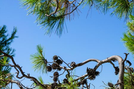 Curved pine branch with cones against the sky. Black Sea pine on the beach Фото со стока
