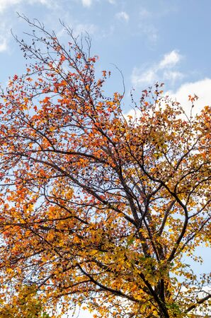 Curved branches of a young plane tree with yellow and red leaves in autumn park against the sky and clouds