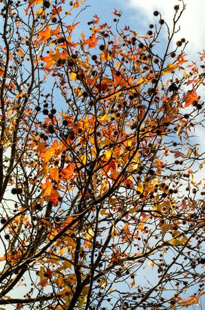 Plane tree with cones and red-yellow leaves against a cloudy sky. Autumn in the city park. Vertical frame Фото со стока
