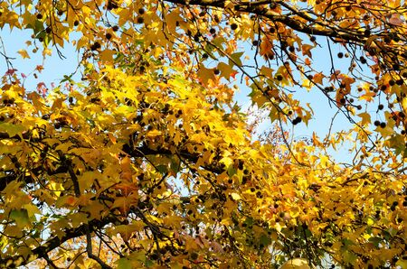 Lush yellow-green foliage of maple in autumn park. The crown of a tree close up against the background of the light blue sky