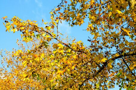 Bright yellow and green leaves of maple, illuminated by the sun from above against the blue sky. Tree in autumn park
