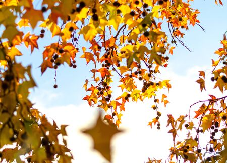 Hanging down a tree branch with yellow and red leaves against a bright sky. In focus, individual leaves. Autumn beauty of nature Фото со стока