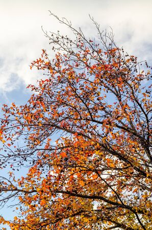 Crown of a young autumn sycamore with red, yellow leaves and cones on the branches against the background of clouds and sky Фото со стока