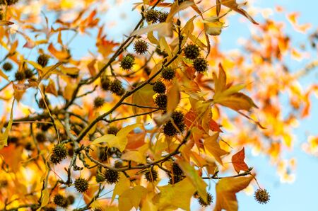 Brown planus cones close-up on branches with bright yellow leaves against a background of sky and tree crown. Beauty in the autumn park