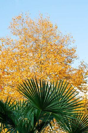 Palm branch on a moderately blurred background of a tree with yellow foliage and blue sky. Autumn beauty in the subtropics