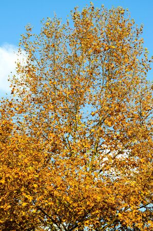 Tree with yellow leaves in the autumn city park against the blue sky on the whole frame vertically
