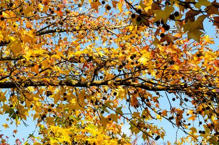 Horizontal branch of autumnal plane tree with yellow-red foliage and cones close-up. Element of autumn vegetation