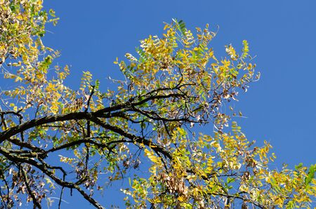 Dry branch of old acacia with yellowing leaves. Old tree in autumn park on a background of blue sky