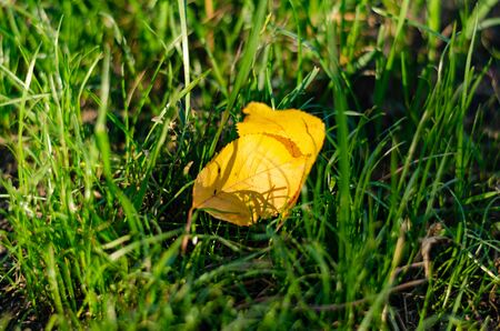 Two yellow leaves from a tree in green tall grass, lit by the sun. Lawn and fallen leaves in the autumn park Фото со стока