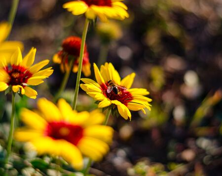 A bee collects nectar on a yellow-red daisy in an autumn garden. Background and foreground blurred