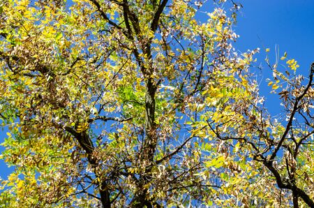Part of the crown of old acacia with yellowing leaves. Old tree in autumn park on a background of blue sky