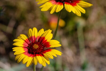 Yellow-red daisy in a flowerbed close-up. Autumn flower in the home garden with blurry background