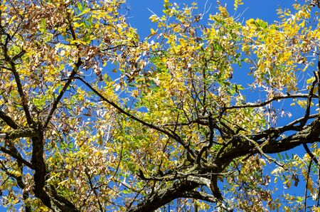 Curved dry trunk of an old acacia tree with yellowing leaves. Old tree in autumn park on a background of blue sky Stockfoto