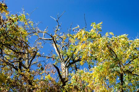 Drying old tree with yellowing leaves. Dry acacia branch in autumn park on a background of blue sky