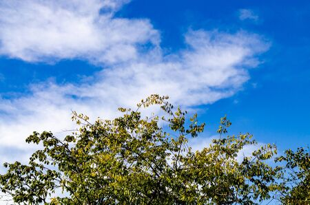 Top of a tree crown with leaves on a background of blue sky and white cloud