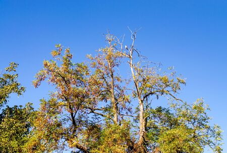 A pigeon sits on a dried branch of an old acacia tree with yellowing leaves. Autumn tree on a background of blue sky