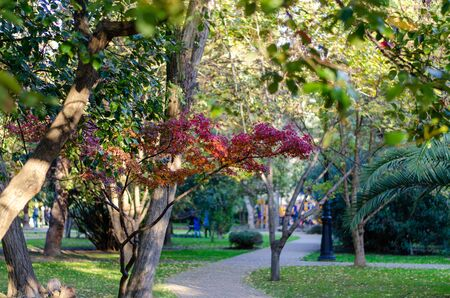A branch with burgundy leaves, illuminated by the rays of the sun, by the park path. Blurred front isadny plan