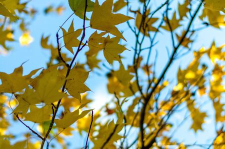 Yellow leaves of a maple (sycamore) on a blue sky with a blur across the frame