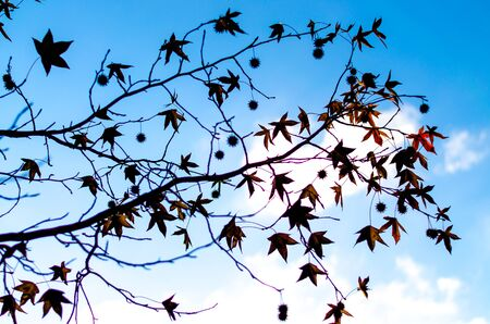 Silhouette of a plane tree branch with rare leaves and cones against the blue sky and clouds Stockfoto