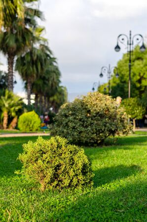 Young thuja on a green lawn, illuminated by the rays of the setting sun, in the park against the backdrop of palm trees, holly and street lamps Banco de Imagens