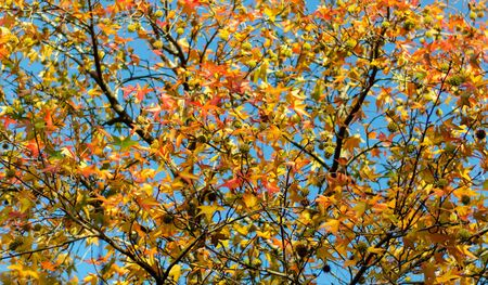Part of an autumn tree against a blue sky with a focus on the leaves in the middle of the frame