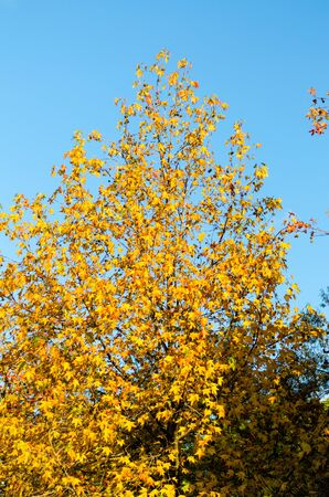 Plane tree with yellow leaves and cones, lit in front of the sun, against a blue sky in the autumn park. Vertical frame