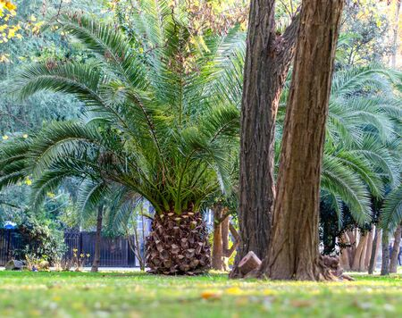 Date palm in the park on a green lawn next to the trunks of large trees. Beauty in the city