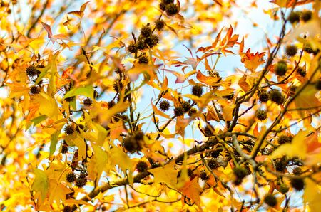 The yellow foliage of sycamore with cones in soft light with a blurred fono. Focus on individual elements. Beauty in the autumn park