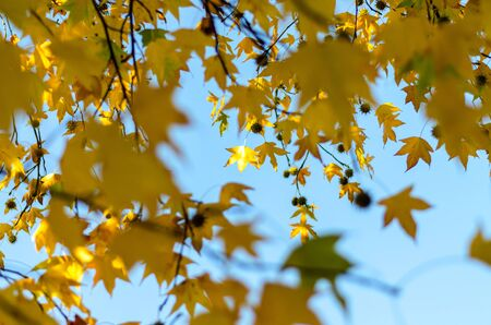 Yellow leaves of a maple (sycamore) on a blue sky with blur foreground Фото со стока