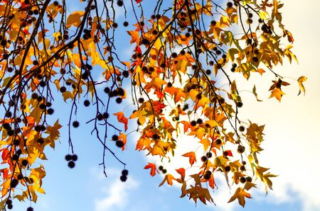 Hanging down tree branches with yellow and red leaves against a blue sky with white clouds. In focus, individual leaves. Autumn beauty of nature Фото со стока