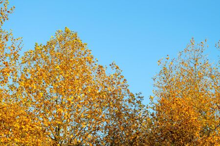 The crown of a tree with yellow leaves in the shape of a pyramid against the blue sky. Beautiful tree in the autumn park