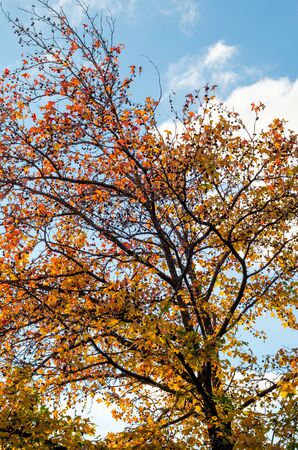 Young plane tree with yellow, red leaves and cones. Curved branches of an autumn tree in a city park against the sky and clouds