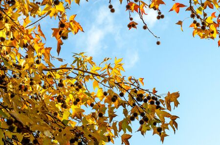 Yellow maple leaves on the branches with cones on the background of the azure sky. Autumn foliage illuminated by the sun