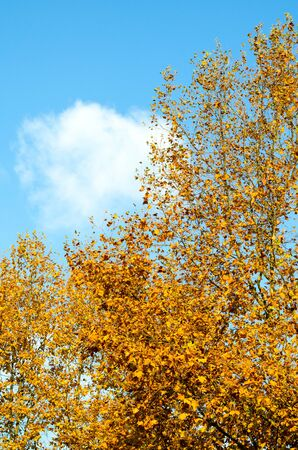 Tree with yellow leaves on a background of white fluffy cumulus clouds against a blue sky. Autumn Park in the city. Vertical frame Фото со стока - 132072062
