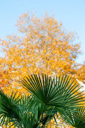 Palm branch on a strongly blurred background of a tree with yellow foliage. Autumn beauty in the subtropics