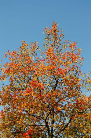 Plane tree with red and yellow leaves and cones against the blue sky, vertical frame