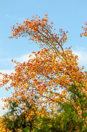 Inclined tree trunk with bright red and yellow leaves against the blue sky with a white cloud. The foreground with a green plant is blurred. The beauty of autumn nature. Vertical frame Imagens
