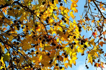 Yellow leaves on the branches with cones against the blue sky. Autumn foliage brightly lit by the sun