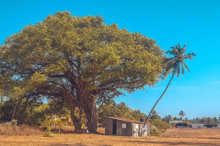 Sacred bodhi tree and palm tree. The concept of the pursuit of life. The hut under the tree. India, Goa