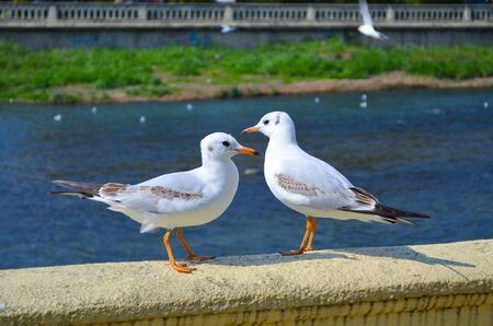Two white seagulls stand on the parapet by the river and look at each other