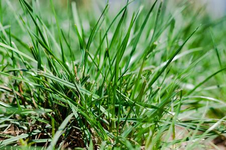 A bunch of green grass close-up. Thin stems. Blurred background