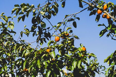 Green persimmon tree with orange fruits on a background of blue sky. Harvest in the orchard
