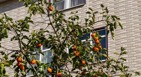 Bright orange persimmon on a branch with green leaves on a background of the house. Orchard in the city. Facade of stone close-up Фото со стока