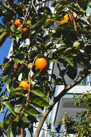 Ripe orange persimmons on a branch with green leaves. Against the background of a residential building. Soft shadows. Orchard concept in the city. Vertical frame for social network story