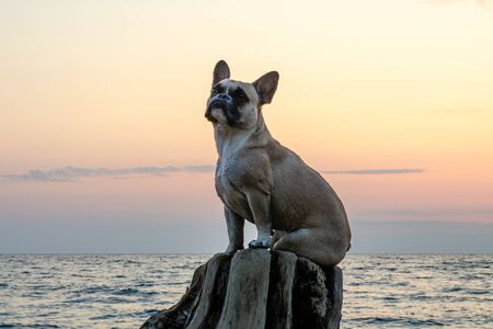 A cute nosy young French bulldog is sitting on an old stump and looking up. Against the background of the sea, sunset and pink sky