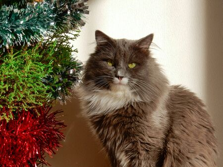 Cute gray fluffy cat near the Christmas tree with tinsel. Looks at the camera. Close-up Фото со стока