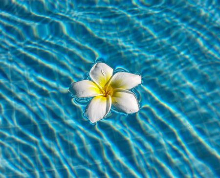 White Plumeria (Frangipani) in the pool water on a blue transparent background with waves